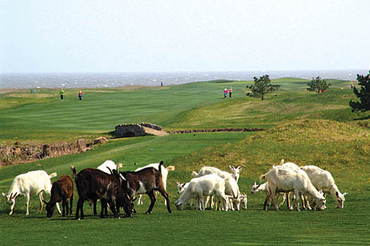 Goats graze on the rough grass at Tiger Beach Golf Links in Shandong province, China